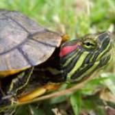 Хвороби красновухих черепах: основні симптоми