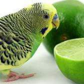 Чим годувати хвилястого папугу