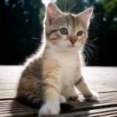 Як визначити стать кошеня?