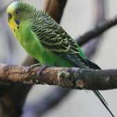 Як визначити стать хвилястого папугу?
