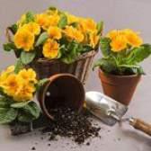 Як пересаджувати квіти