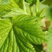 Як збирати, сушити і заварювати листя смородини