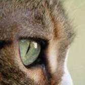 Як бачать кішки?