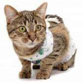 Кішка після операції: як доглядати
