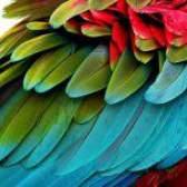 Линька у папуг