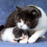 Містить у кішки