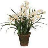 Орхідея Цимбідіум: догляд та утримання