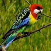 Папуги розели