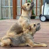 Породи собак: бордер тер'єр