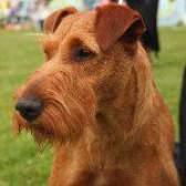 Породи собак: ірландський тер'єр