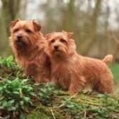 Породи собак: норфолк тер'єр