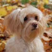 Породи собак: петербурзька орхідея