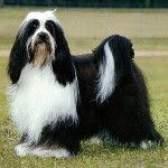 Породи собак: тибетський тер'єр