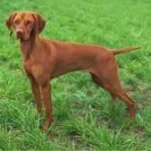 Породи собак: угорська вижла