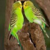 Розведення хвилястих папуг