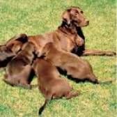Собака після пологів