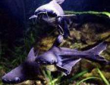 Акулячий сом: міні-акула в вашому акваріумі