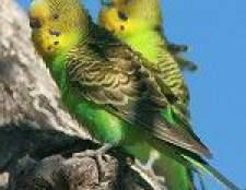 Хвороби хвилястих папуг