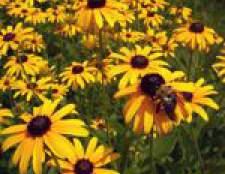 Квіти-багаторічники