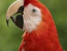 Кліщі у папуг