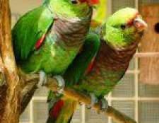 Папуги амазони: утримання, догляд, годування