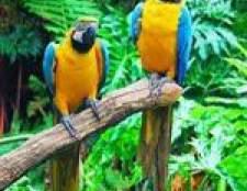 Папуги ара