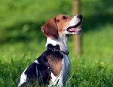 Порода собак бігль