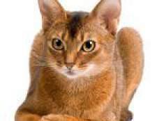 Породи кішок: абиссинская кішка