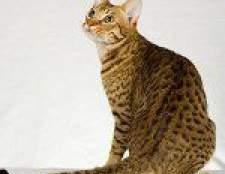Породи кішок: оцикет