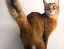 Породи кішок: сомалійська кішка