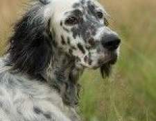 Породи собак: англійський сетер