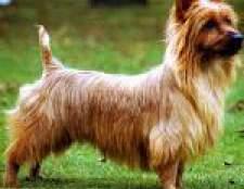 Породи собак: австралійський тер'єр