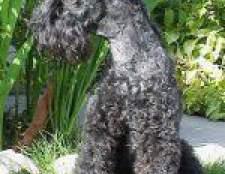 Породи собак: керрі-блю-тер'єр
