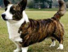Породи собак: вельш-коргі кардіган