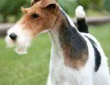 Породи собак: жорсткошерстний фокстер'єр