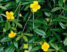Рослина Колган: лікувальні властивості і застосування