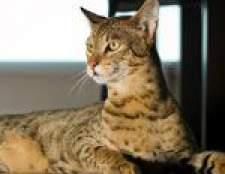 Найрідкісніші породи кішок
