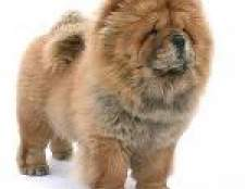 Собака чау-чау: особливості та догляд