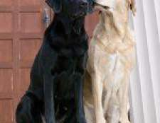 Тічка у собак