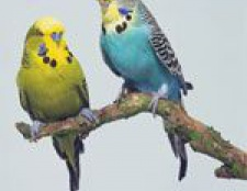 Догляд за хвилястими папугами