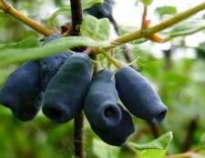 Смачна жимолость взимку: рецепти варення і заготовок з ягоди
