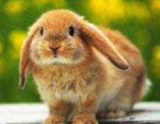 Вибираємо декоративного кролика